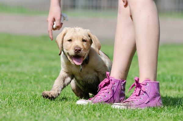 chien marche au pied